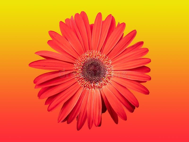 Fiore rosso isolato su rosso di pendenza e su fondo giallo fotografia stock