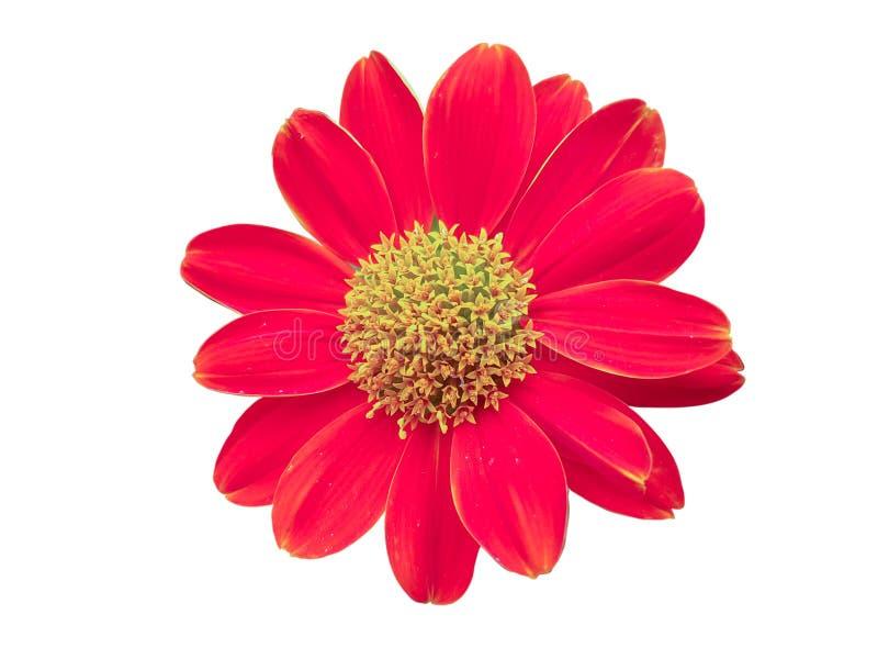 Fiore rosso isolato su priorità bassa bianca immagine stock