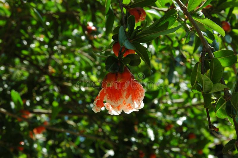 Fiore rosso luminoso su un ramo di un albero di melograno sbocciante immagine stock