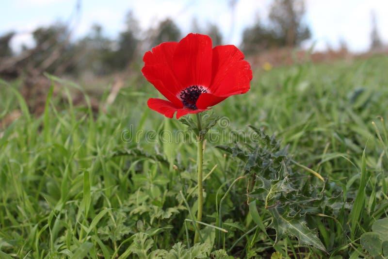 Fiore rosso nel campo immagini stock libere da diritti
