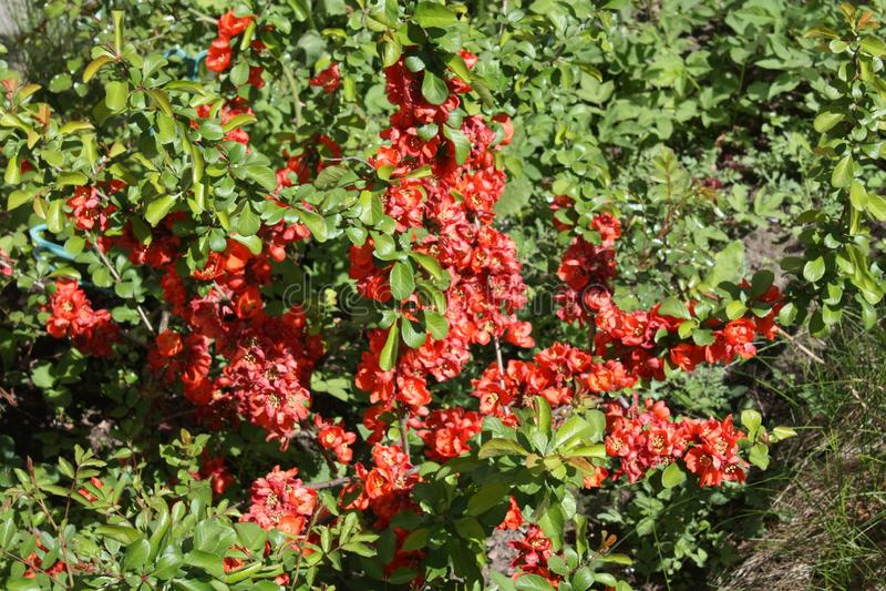 Fiore rosso nell'iarda fotografie stock