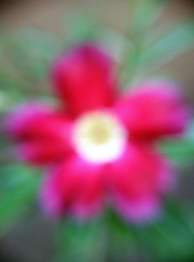 Fiore rosso (sfuocatura) fotografia stock libera da diritti