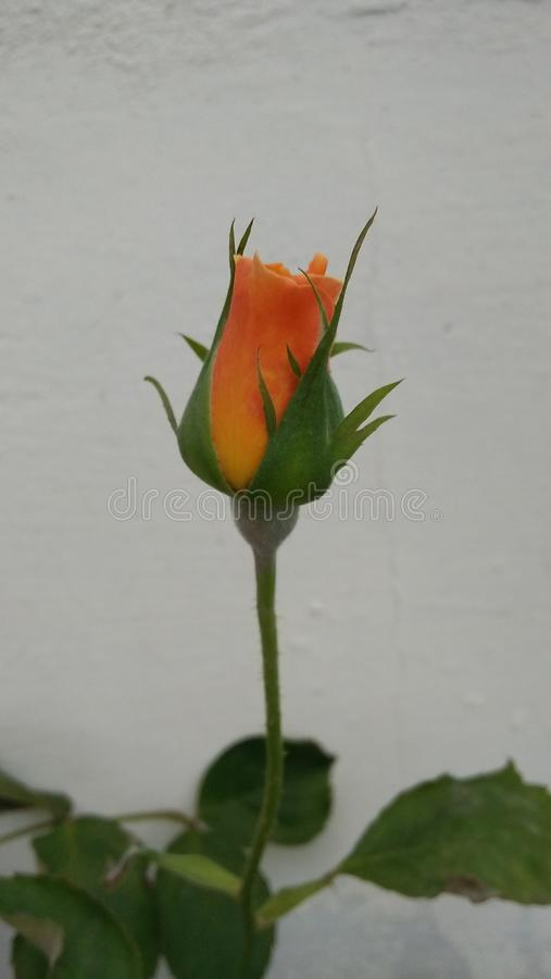 Fiore rosso stupefacente con fondo grigio immagini stock libere da diritti