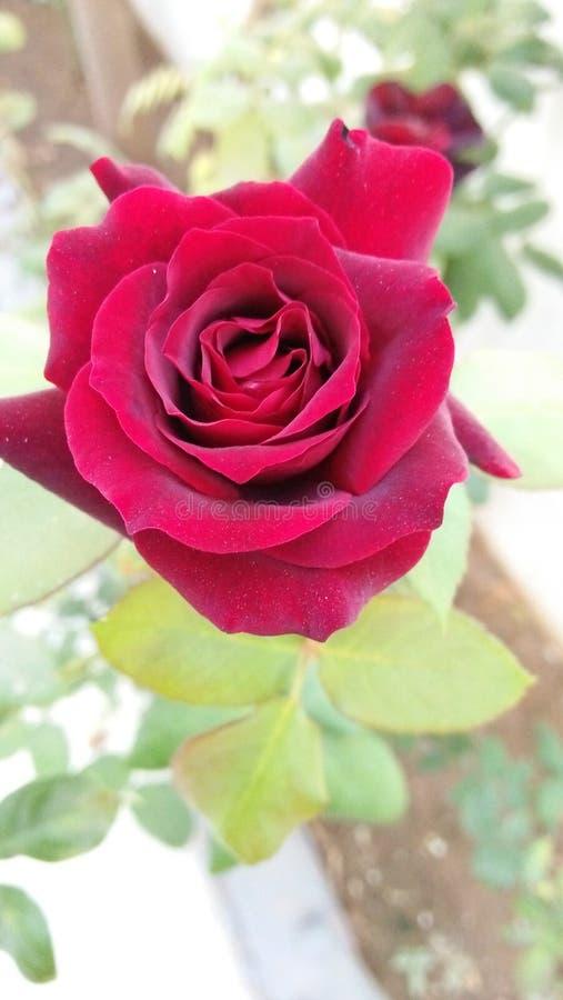 Fiore rosso stupefacente con il fondo del gret fotografia stock libera da diritti