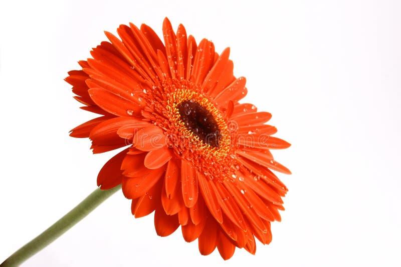 Fiore rosso su un backgrou bianco immagine stock