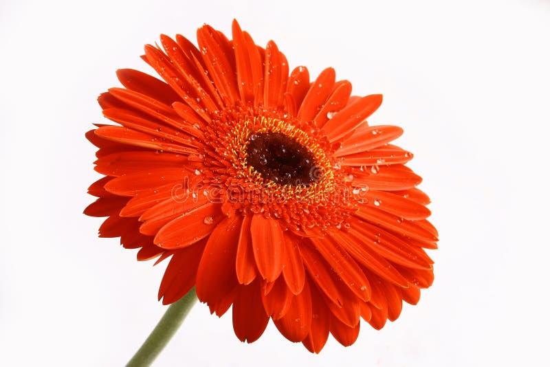 Fiore rosso su un backgrou bianco fotografie stock