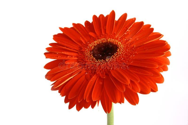 Fiore rosso su un backgrou bianco fotografia stock libera da diritti