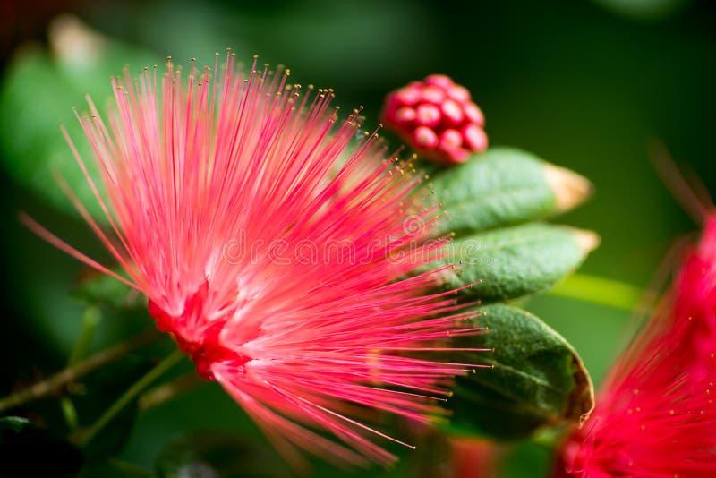 Fiore rosso tropicale del fan con le foglie ed i germogli fotografia stock