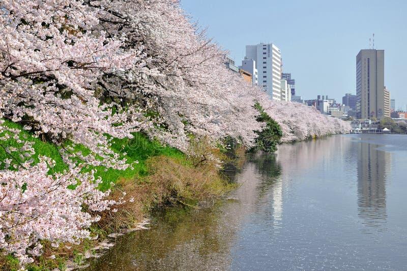 Fiore sakura del ciliegio lungo il canale a Ichigaya, Tokyo, Giappone fotografia stock libera da diritti