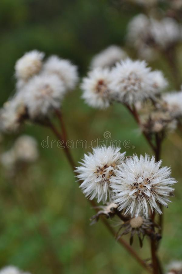 Fiore sbiadito del prato fotografie stock libere da diritti
