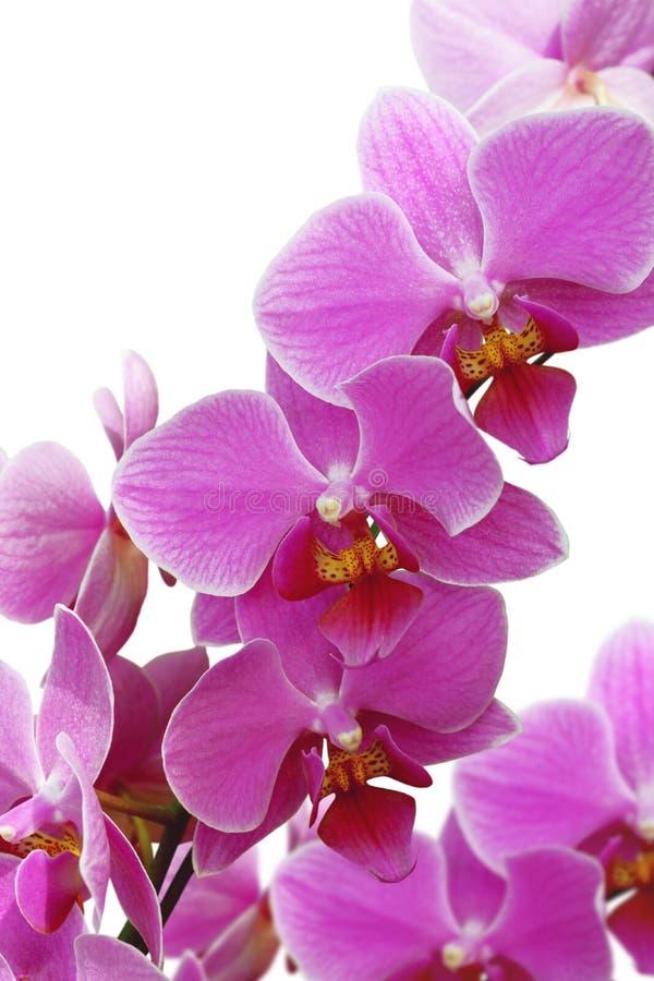 Fiore sbocciante dell'orchidea fotografia stock libera da diritti