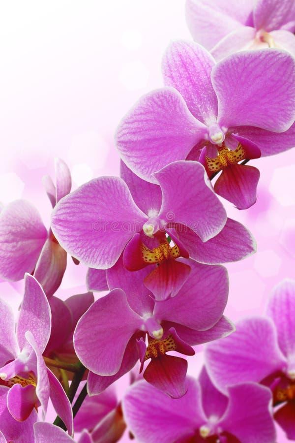 Fiore sbocciante dell'orchidea fotografie stock