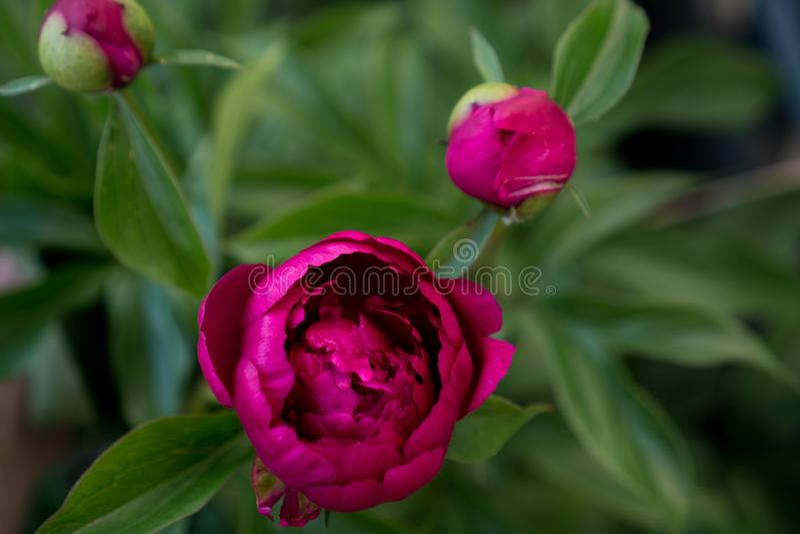 Fiore sbocciante della peonia nel colore magenta contro fogliame verde Fondo di contrasto e luminoso per le carte e le coperture  fotografia stock
