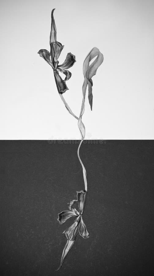 Fiore secco in bianco e nero dell'estratto con le foglie fotografia stock libera da diritti