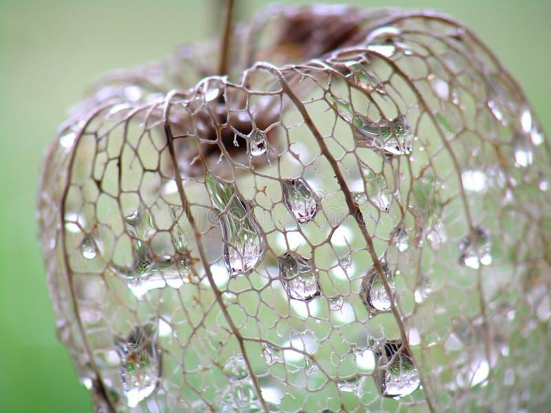 Fiore secco del Physalis fotografie stock libere da diritti