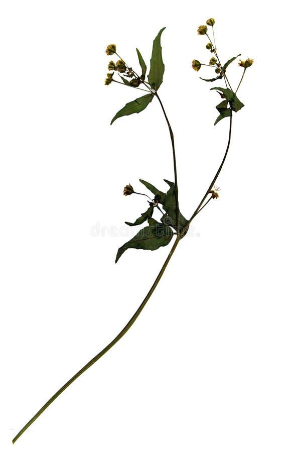 Fiore secco del soldato prode fotografia stock libera da diritti