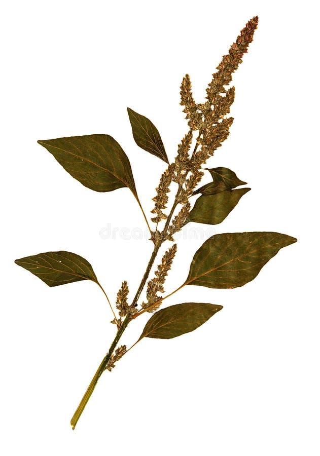 Fiore secco dell'amaranto della coda di volpe fotografia stock