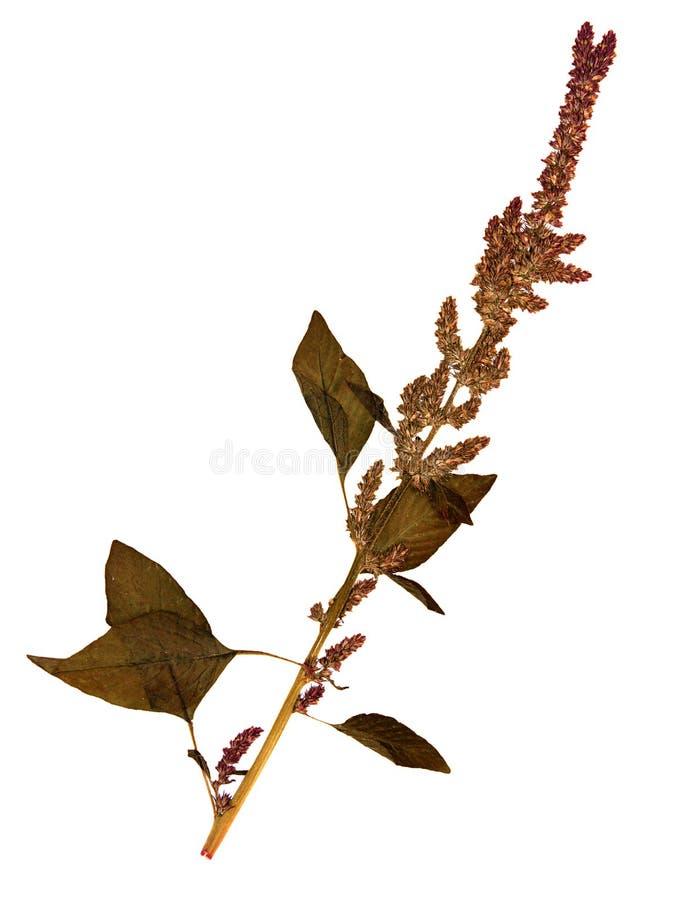 Fiore secco dell'amaranto della coda di volpe fotografia stock libera da diritti