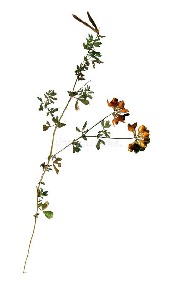 Fiore secco di erba medica gialla immagine stock libera da diritti
