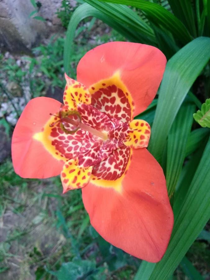 Fiore selvaggio andino fotografia stock libera da diritti