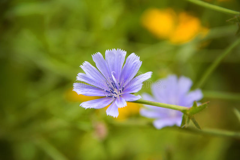 Fiore selvaggio colorato vinca immagine stock
