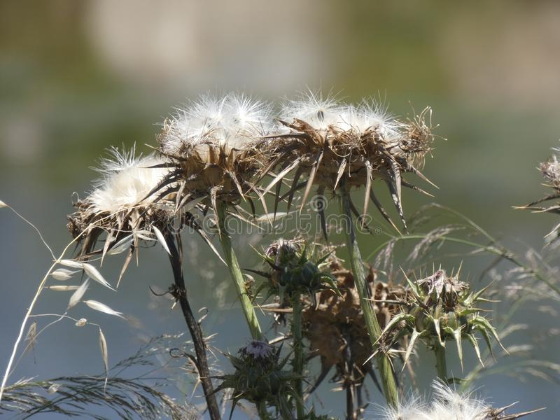 Fiore selvaggio del cardo selvatico nel campo fotografie stock libere da diritti