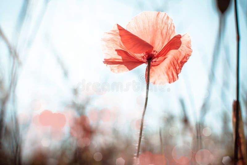 Fiore selvaggio del papavero fotografie stock libere da diritti
