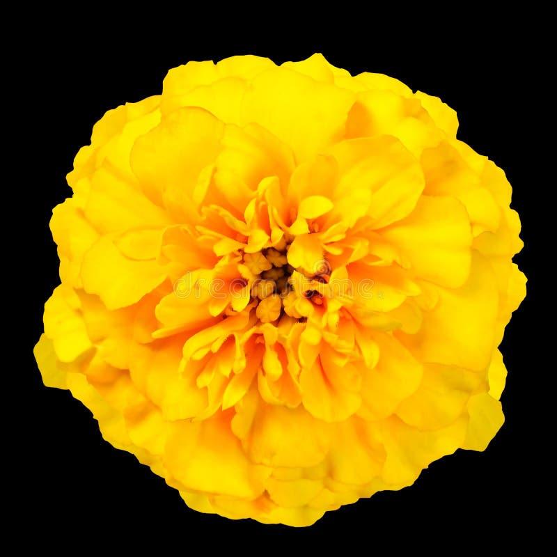 Fiore selvaggio del tagete giallo isolato su fondo nero fotografia stock