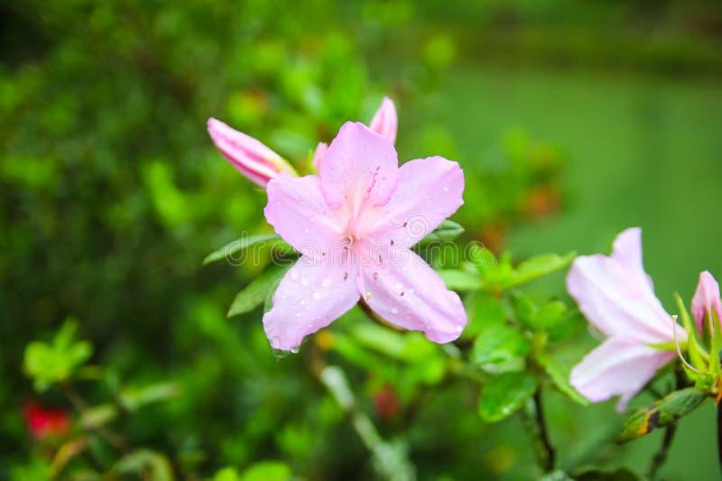 Fiore selvaggio del Vietnam nel kute molto fotografia stock