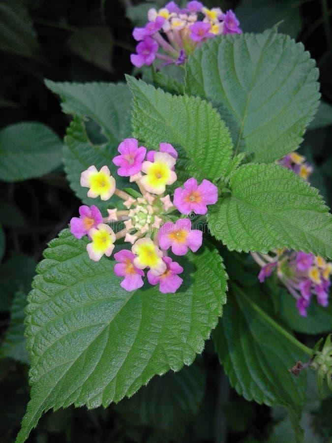 Fiore selvaggio dell'isola di Flores immagine stock