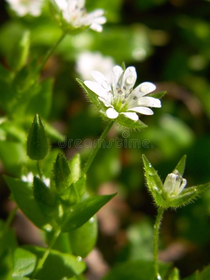 Fiore selvaggio della foresta della molla bianca con rugiada fotografia stock