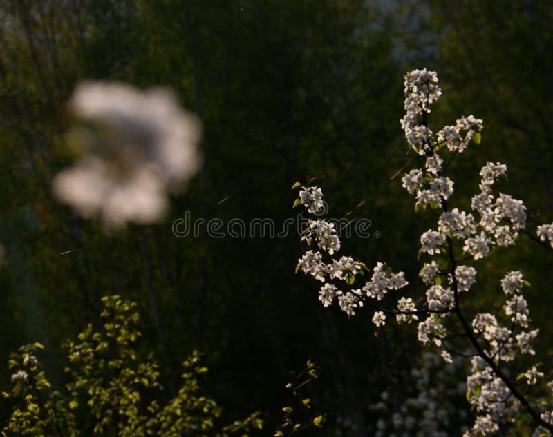 Fiore selvaggio della pera della montagna immagine stock libera da diritti