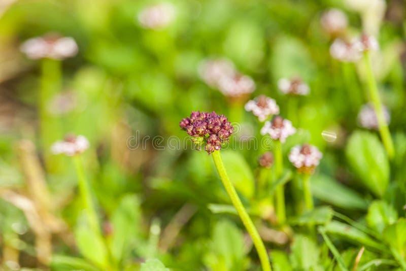 Fiore selvaggio della primavera fotografia stock libera da diritti