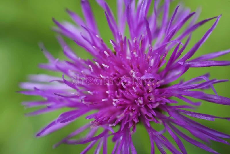 Fiore selvaggio lilla di jacea della centaurea su fondo verde fotografia stock