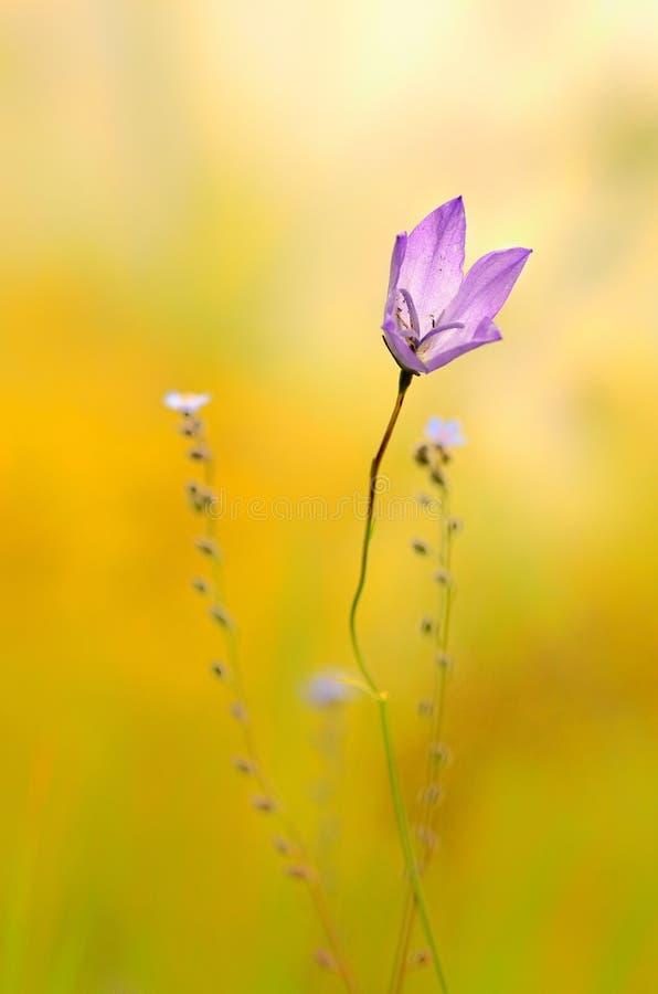 Fiore selvaggio viola fotografia stock libera da diritti