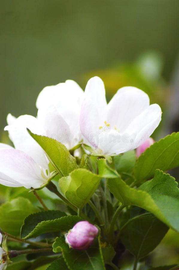 Fiore semiaperto della mela immagine stock libera da diritti