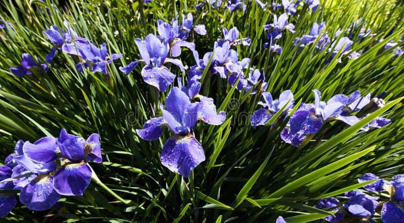Fiore siberiano dell'iride fotografia stock