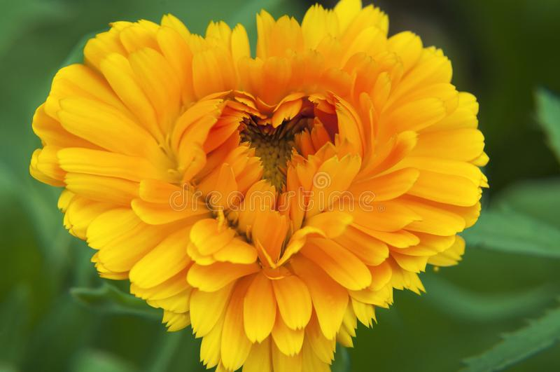 Fiore soleggiato arancio con i petali su un fondo verde sotto forma di cuore immagini stock