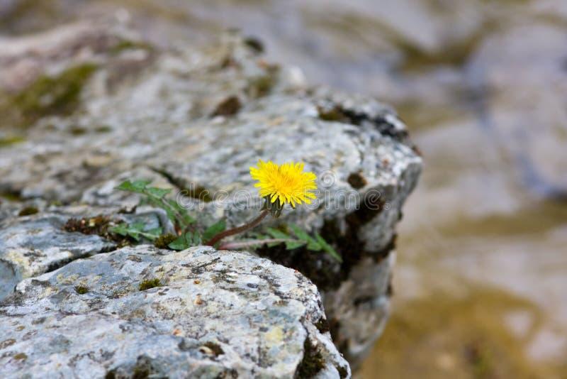 Fiore solo su una roccia immagine stock