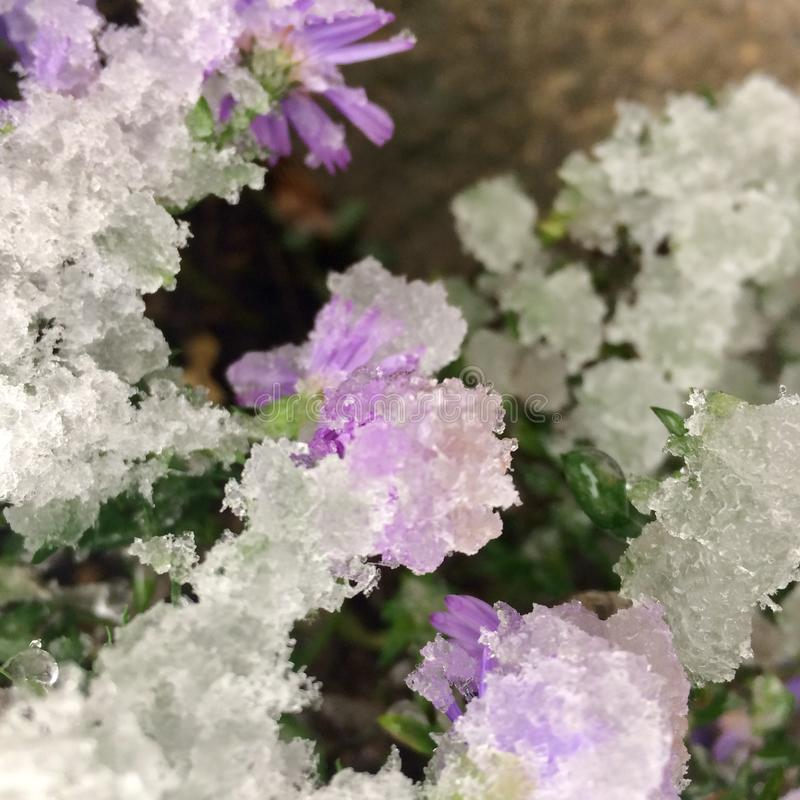 Fiore sotto neve bagnata fotografia stock libera da diritti