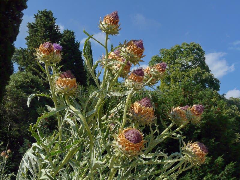 Fiore spinoso del campo selvaggio con i germogli porpora contro lo sfondo degli alberi e del cielo blu verdi immagini stock libere da diritti