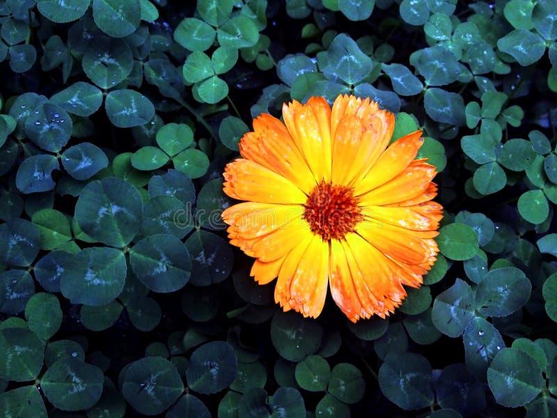 Fiore sul trifoglio fotografie stock libere da diritti