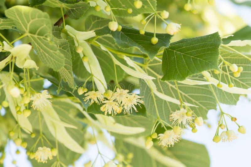 Fiore sull 39 albero medicina naturale alternativa del for Tiglio albero