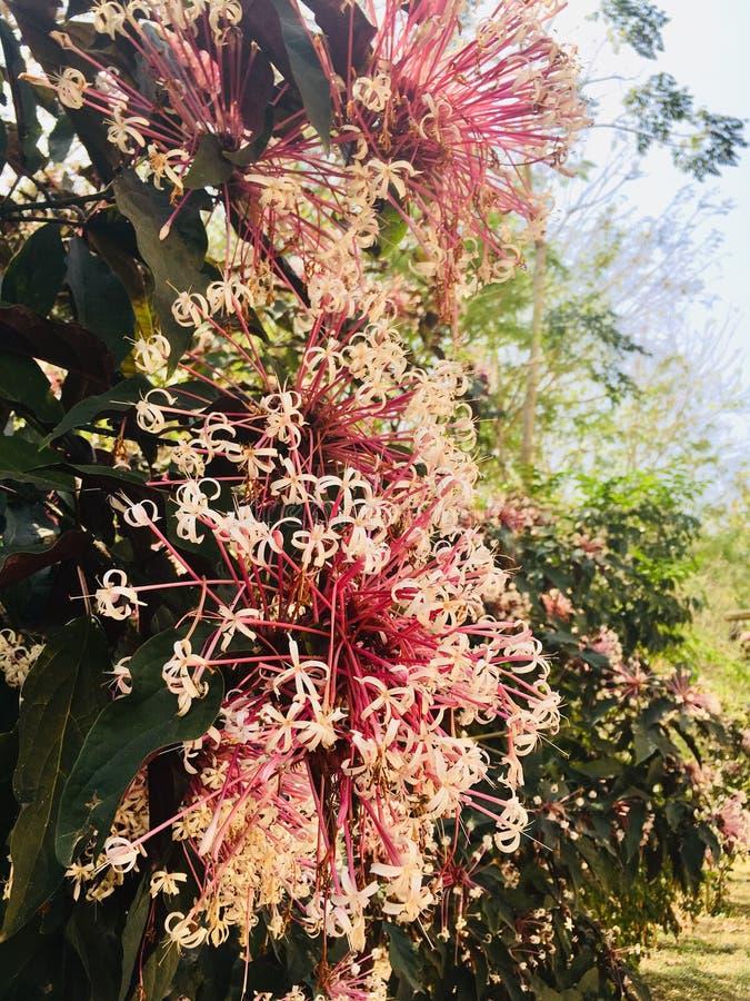 Fiore superbo di Grevillea Officinale di rosa e di bianco fotografie stock