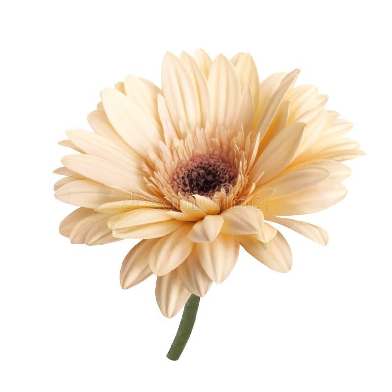 Fiore tenero della gerbera della panna liquida immagine stock libera da diritti