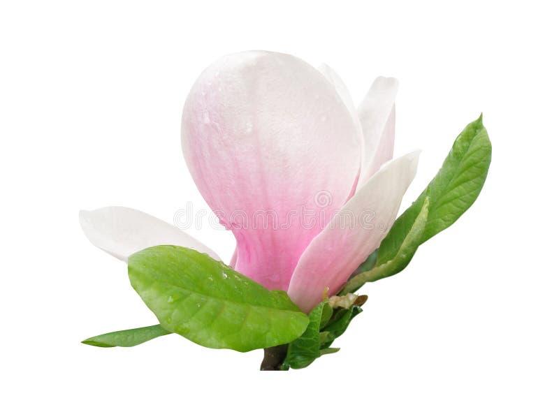 Fiore tenero della magnolia di rosa della molla isolato su fondo bianco immagine stock