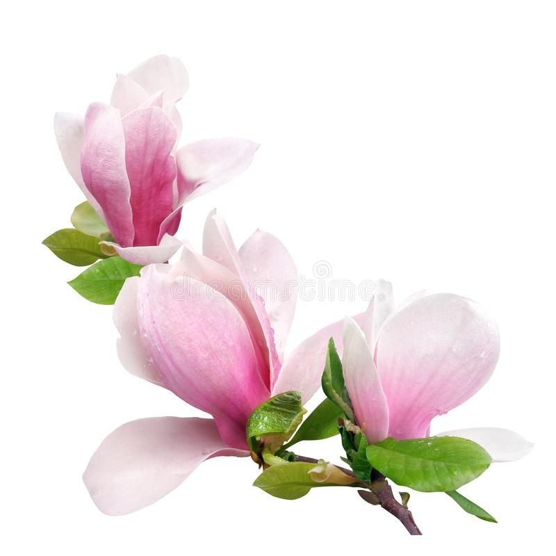 Fiore tenero della magnolia di rosa della molla isolato su fondo bianco fotografia stock libera da diritti