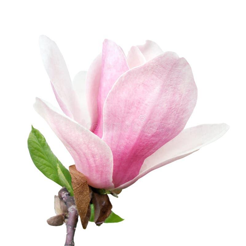 Fiore tenero della magnolia di rosa della molla isolato su fondo bianco fotografia stock