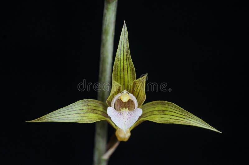 Fiore terrestre dell'orchidea fotografia stock