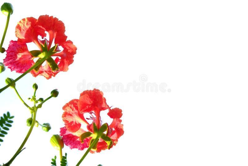 Fiore tropicale del fiore di pavone con i rami su fondo isolato bianco immagini stock